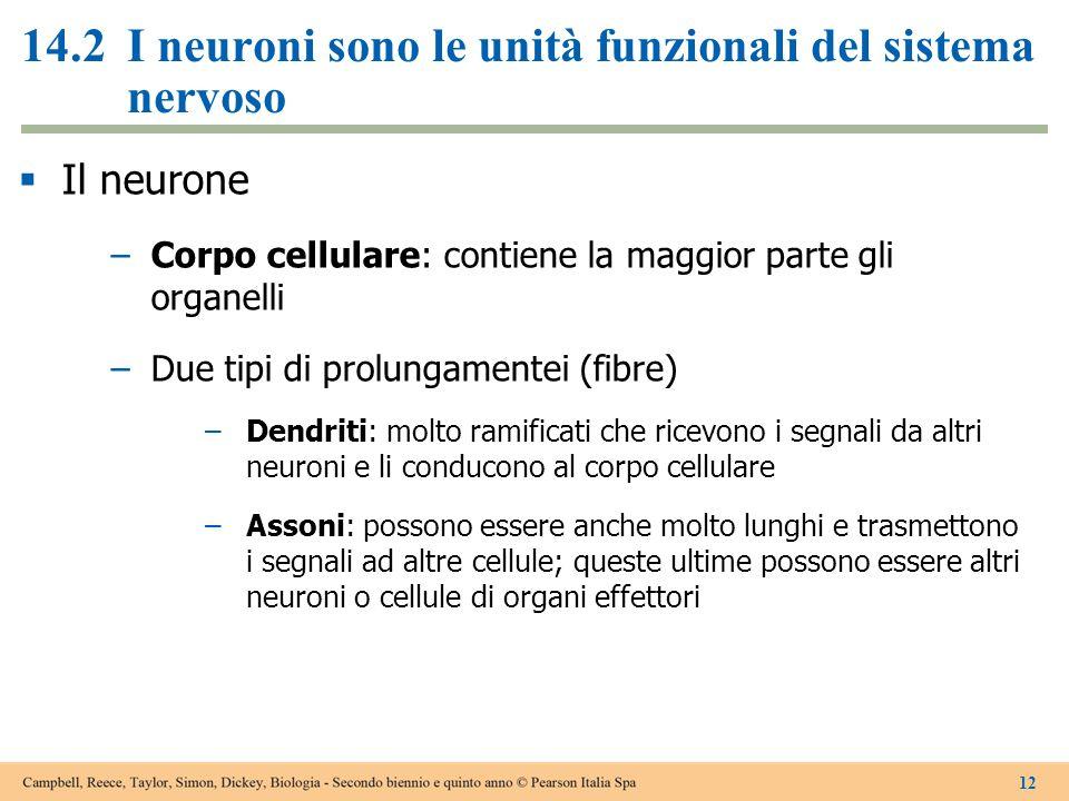 14.2I neuroni sono le unità funzionali del sistema nervoso  Il neurone –Corpo cellulare: contiene la maggior parte gli organelli –Due tipi di prolung
