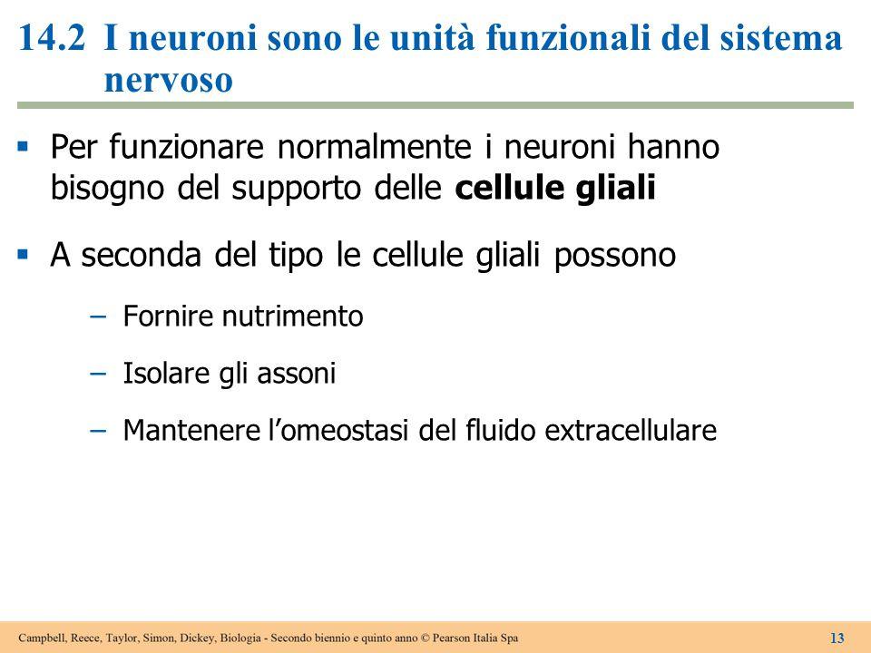 14.2I neuroni sono le unità funzionali del sistema nervoso  Per funzionare normalmente i neuroni hanno bisogno del supporto delle cellule gliali  A