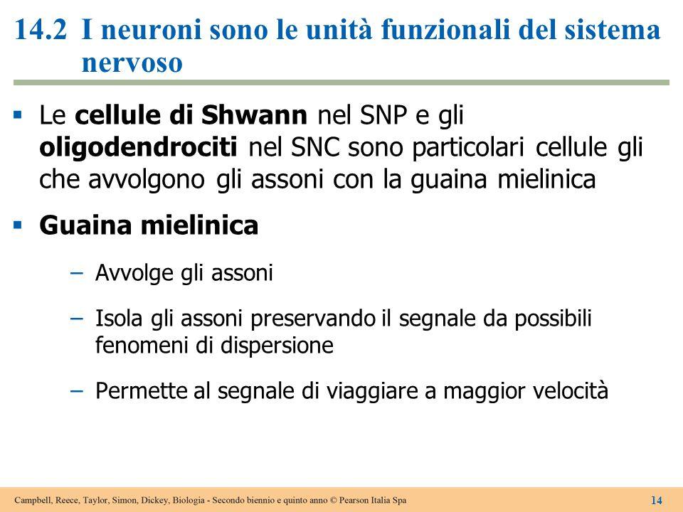 14.2I neuroni sono le unità funzionali del sistema nervoso  Le cellule di Shwann nel SNP e gli oligodendrociti nel SNC sono particolari cellule gli c