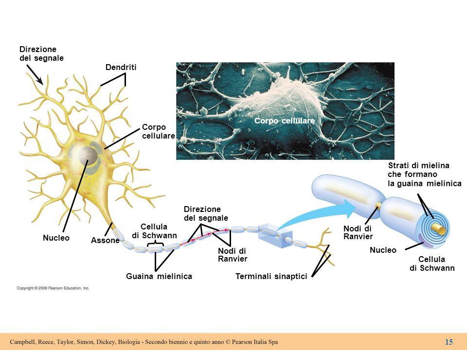 Direzione del segnale Dendriti Corpo cellulare Nucleo Assone Cellula di Schwann Guaina mielinica Direzione del segnale Nodi di Ranvier Terminali sinap