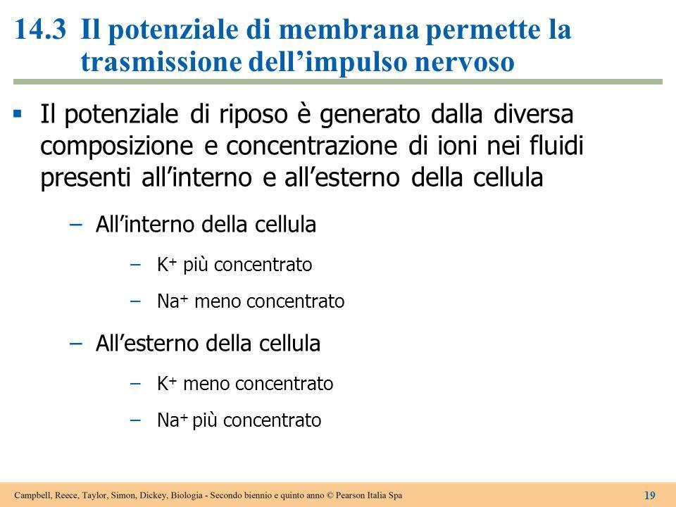 14.3Il potenziale di membrana permette la trasmissione dell'impulso nervoso  Il potenziale di riposo è generato dalla diversa composizione e concentr