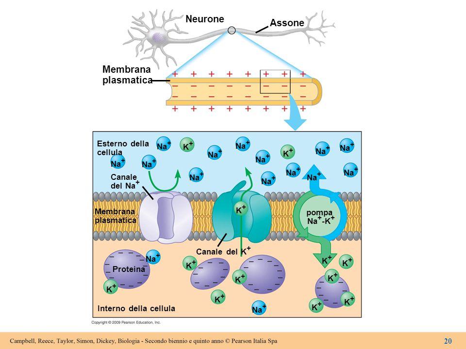 Neurone Assone Membrana plasmatica Esterno della cellula Na + K+K+ pompa Na + -K + Canale del Na + Membrana plasmatica Canale del K + Proteina Interno