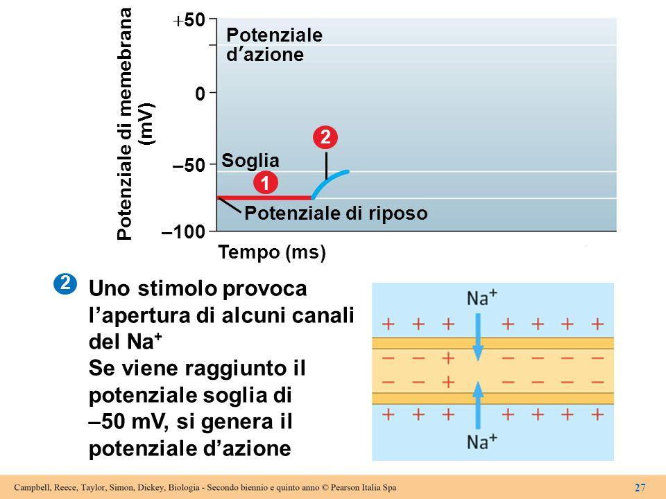 Uno stimolo provoca l'apertura di alcuni canali del Na + Se viene raggiunto il potenziale soglia di –50 mV, si genera il potenziale d'azione 2 Tempo (
