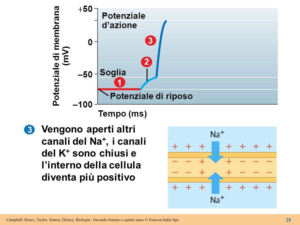 3 Tempo (ms) –100 Potenziale di riposo 1 Soglia 2 3 –50 0  50 Potenziale d'azione Potenziale di membrana (mV) 28 Vengono aperti altri canali del Na +