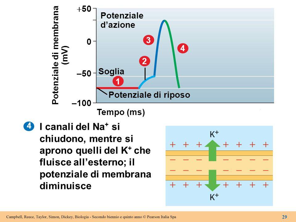 4 Tempo (ms) –100 Potenziale di riposo 1 Soglia 2 3 4 –50 0  50 Potenziale d'azione Potenziale di membrana (mV) 29 I canali del Na + si chiudono, men
