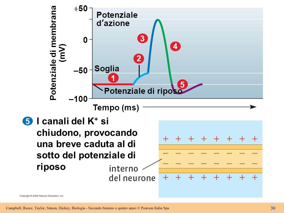 5 Tempo (ms) –100 Potenziale di riposo 1 Soglia 2 3 4 5 –50 0  50 Potenziale d'azione Potenziale di membrana (mV) 30 I canali del K + si chiudono, pr