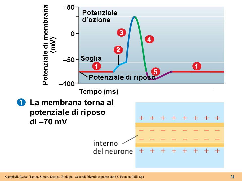 Tempo (ms) –100 Potenziale di riposo 1 Soglia 2 3 4 5 –50 0  50 1 Potenziale d'azione Potenziale di membrana (mV) 31 1 La membrana torna al potenzial