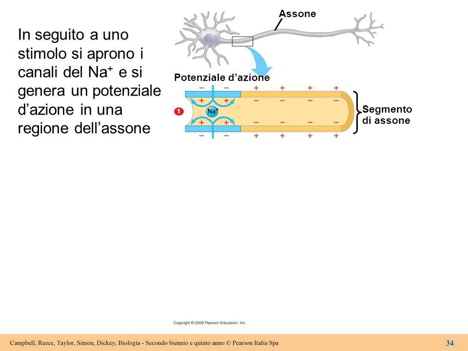 Assone Potenziale d'azione Segmento di assone 1 Na + 34 In seguito a uno stimolo si aprono i canali del Na + e si genera un potenziale d'azione in una