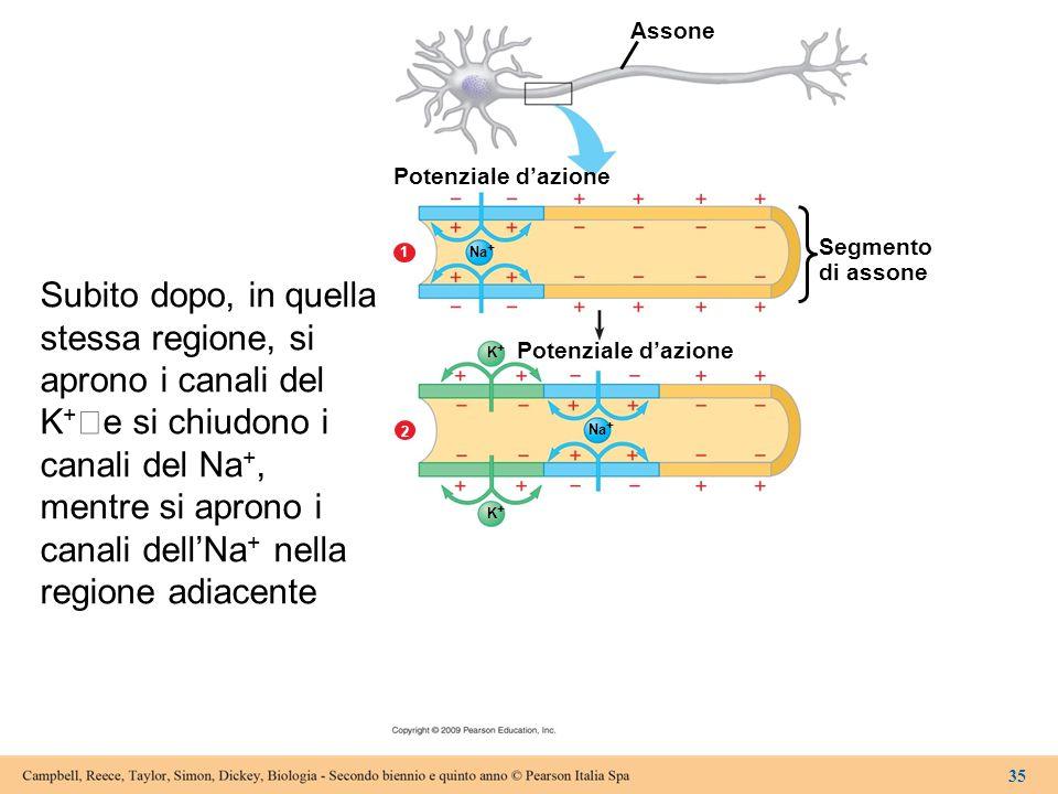 Assone Potenziale d'azione Segmento di assone Potenziale d'azione 2 1 Na + K+K+ K+K+ 35 Subito dopo, in quella stessa regione, si aprono i canali del