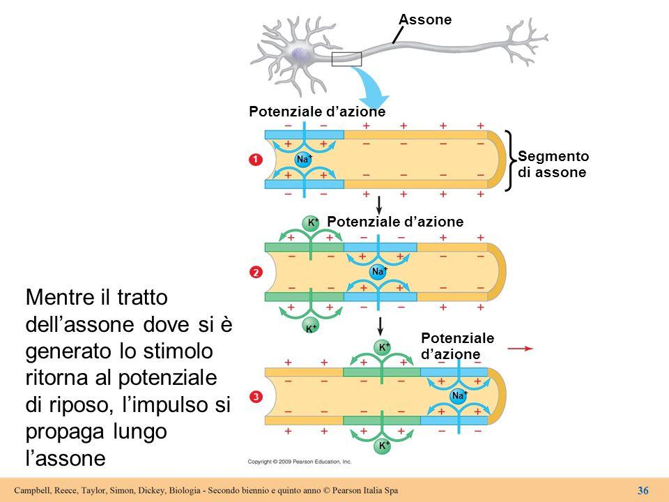 Assone Potenziale d'azione Segmento di assone Potenziale d'azione Potenziale d'azione 2 3 1 Na + K+K+ K+K+ K+K+ K+K+ 36 Mentre il tratto dell'assone d