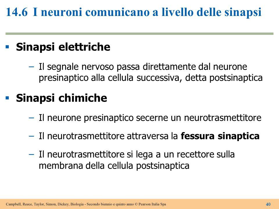 14.6I neuroni comunicano a livello delle sinapsi  Sinapsi elettriche –Il segnale nervoso passa direttamente dal neurone presinaptico alla cellula suc