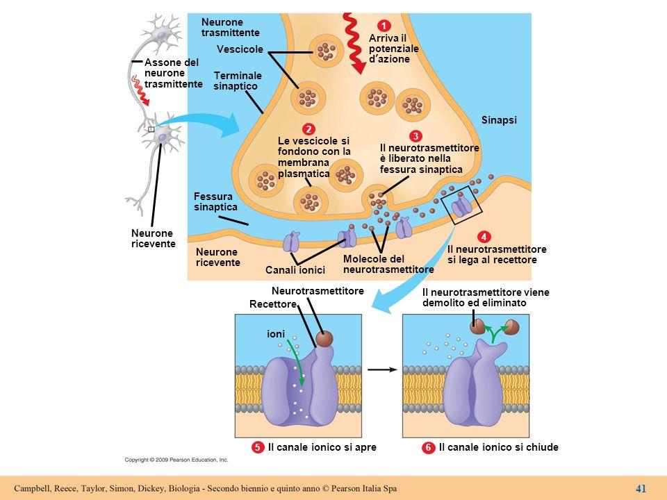 Neurone trasmittente 1 2 3 4 65 Assone del neurone trasmittente Vescicole Terminale sinaptico Le vescicole si fondono con la membrana plasmatica Fessu