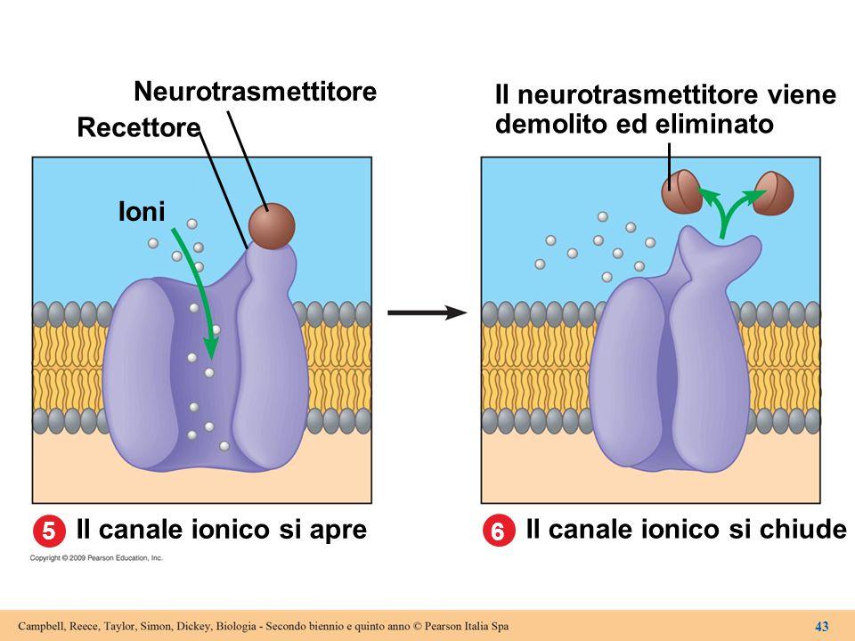 5 Neurotrasmettitore Il canale ionico si chiude Il canale ionico si apre Recettore Ioni Il neurotrasmettitore viene demolito ed eliminato 6 43