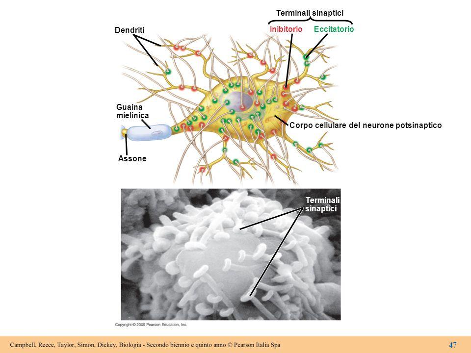 Dendriti Guaina mielinica Assone Corpo cellulare del neurone potsinaptico Inibitorio Eccitatorio Terminali sinaptici Terminali sinaptici 47