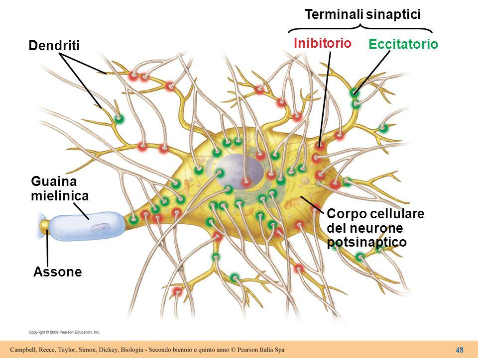 Dendriti Guaina mielinica Assone Corpo cellulare del neurone potsinaptico Inibitorio Eccitatorio Terminali sinaptici 48