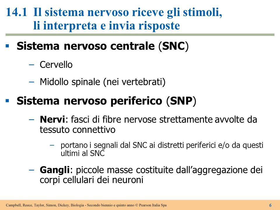 14.1Il sistema nervoso riceve gli stimoli, li interpreta e invia risposte  Sistema nervoso centrale (SNC) –Cervello –Midollo spinale (nei vertebrati)