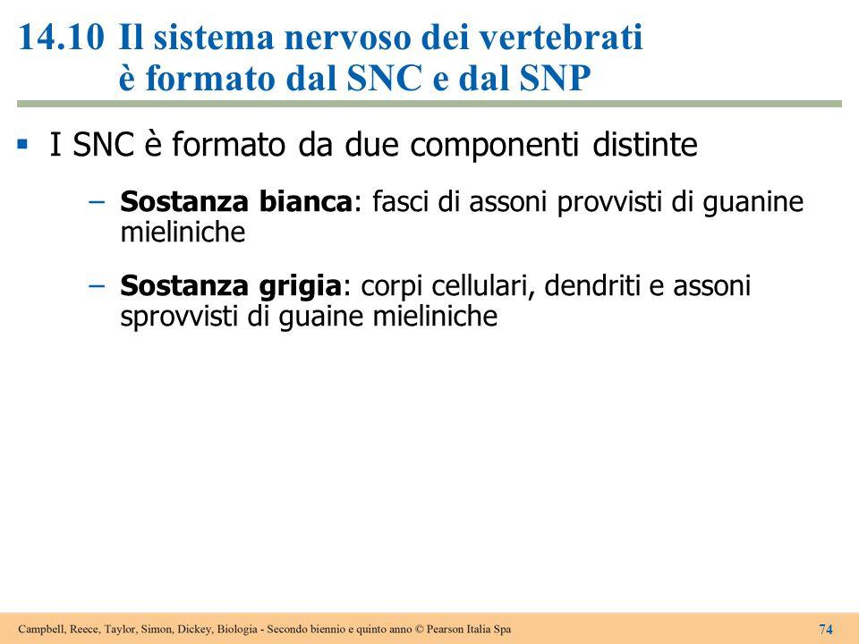 14.10Il sistema nervoso dei vertebrati è formato dal SNC e dal SNP  I SNC è formato da due componenti distinte –Sostanza bianca: fasci di assoni prov