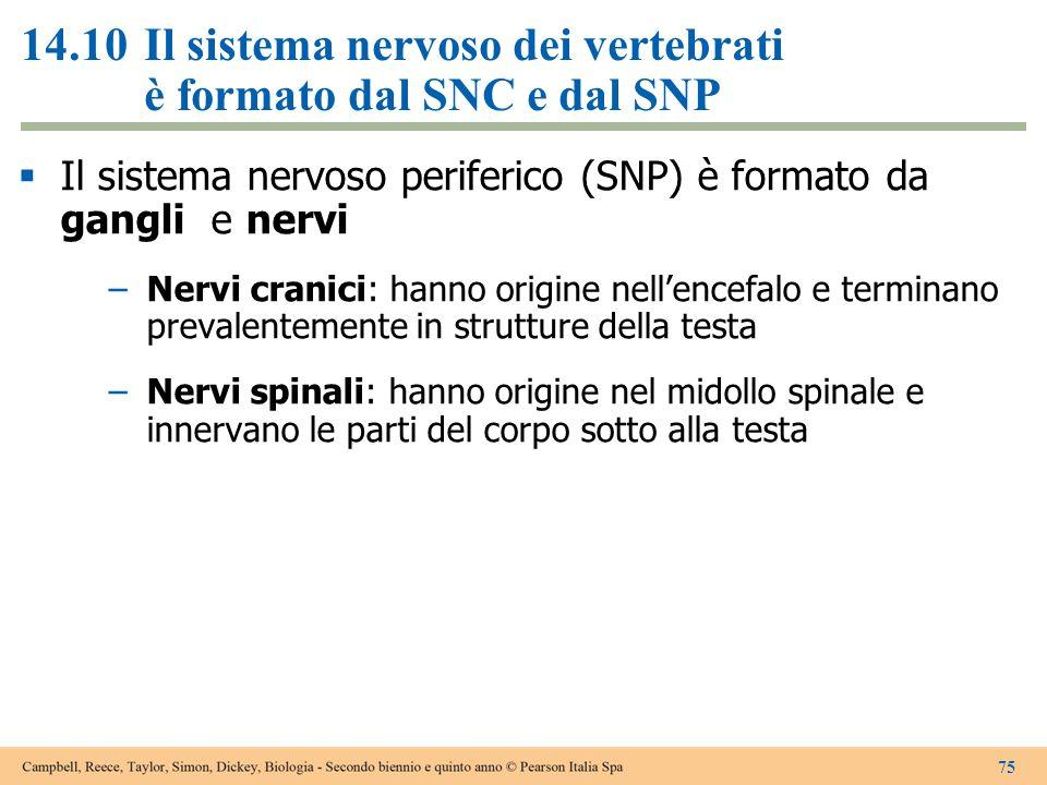 14.10Il sistema nervoso dei vertebrati è formato dal SNC e dal SNP  Il sistema nervoso periferico (SNP) è formato da gangli e nervi –Nervi cranici: h