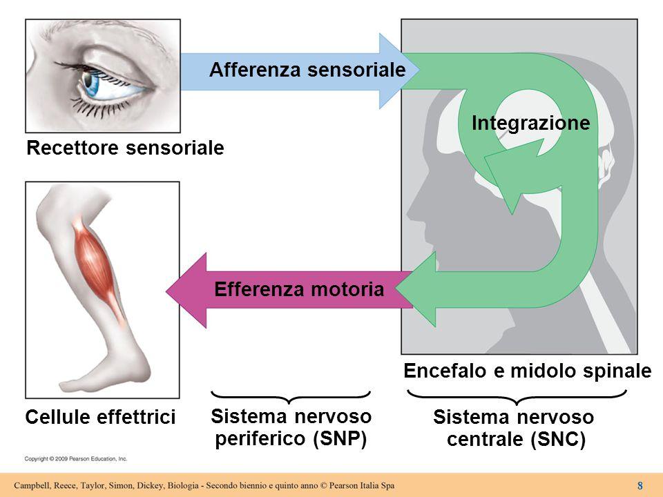 14.1Il sistema nervoso riceve gli stimoli, li interpreta e invia risposte  Neuroni sensoriali – Trasmettono i segnali dai recettori al SNC  Interneuroni, localizzati interamente nel SNC –Integrano i dati –Trasmettono i segnali appropriati ad altri interneuroni o ai neuroni motori –Trasmettono i segnali dal SNC alle cellule effettrici  Motoneuroni –Trasmettono i segnali dal SNC alle cellule effettrici 9