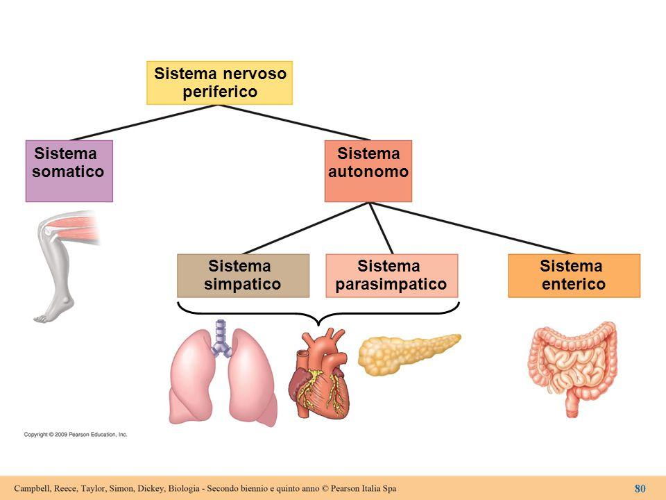 Sistema nervoso periferico Sistema somatico Sistema autonomo Sistema simpatico Sistema parasimpatico Sistema enterico 80