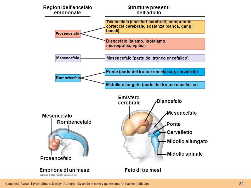 Regioni dell'encefalo embrionale Prosencefalo Mesencefalo Rombelcefalo Mesencefalo Rombencefalo Prosencefalo Embrione di un mese Strutture presenti ne
