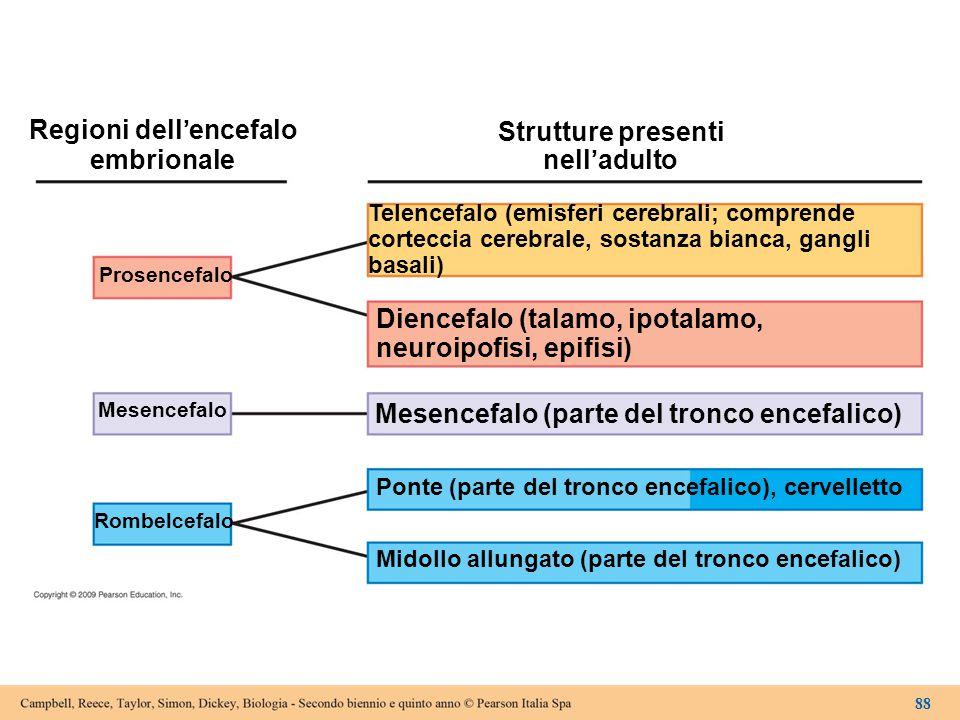 Regioni dell'encefalo embrionale Strutture presenti nell'adulto Telencefalo (emisferi cerebrali; comprende corteccia cerebrale, sostanza bianca, gangl