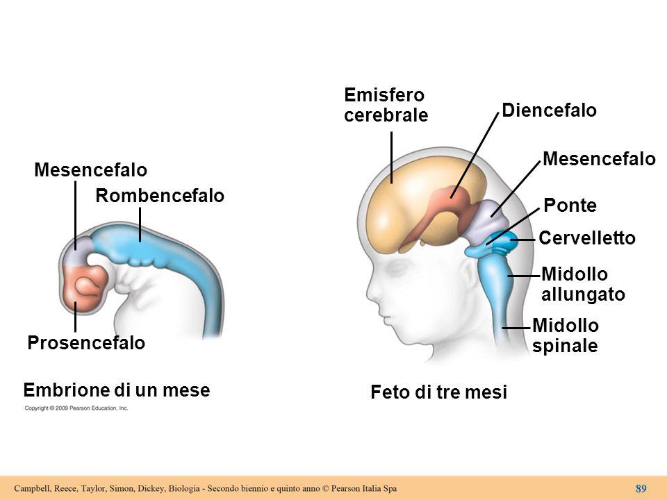 Mesencefalo Rombencefalo Prosencefalo Embrione di un mese Emisfero cerebrale Diencefalo Mesencefalo Ponte Cervelletto Midollo allungato Midollo spinal