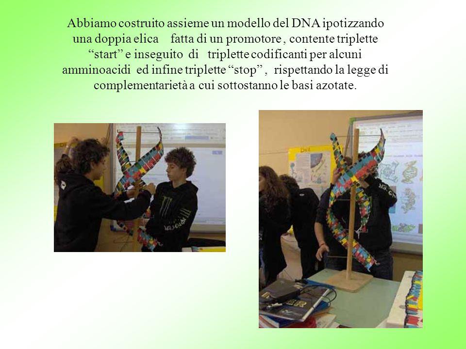 Abbiamo costruito assieme un modello del DNA ipotizzando una doppia elica fatta di un promotore, contente triplette start e inseguito di triplette codificanti per alcuni amminoacidi ed infine triplette stop , rispettando la legge di complementarietà a cui sottostanno le basi azotate.