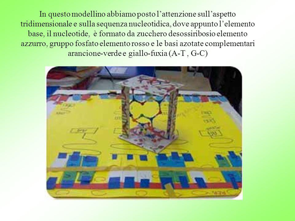 In questo modellino abbiamo posto l'attenzione sull'aspetto tridimensionale e sulla sequenza nucleotidica, dove appunto l'elemento base, il nucleotide, è formato da zucchero desossiribosio elemento azzurro, gruppo fosfato elemento rosso e le basi azotate complementari arancione-verde e giallo-fuxia (A-T, G-C)