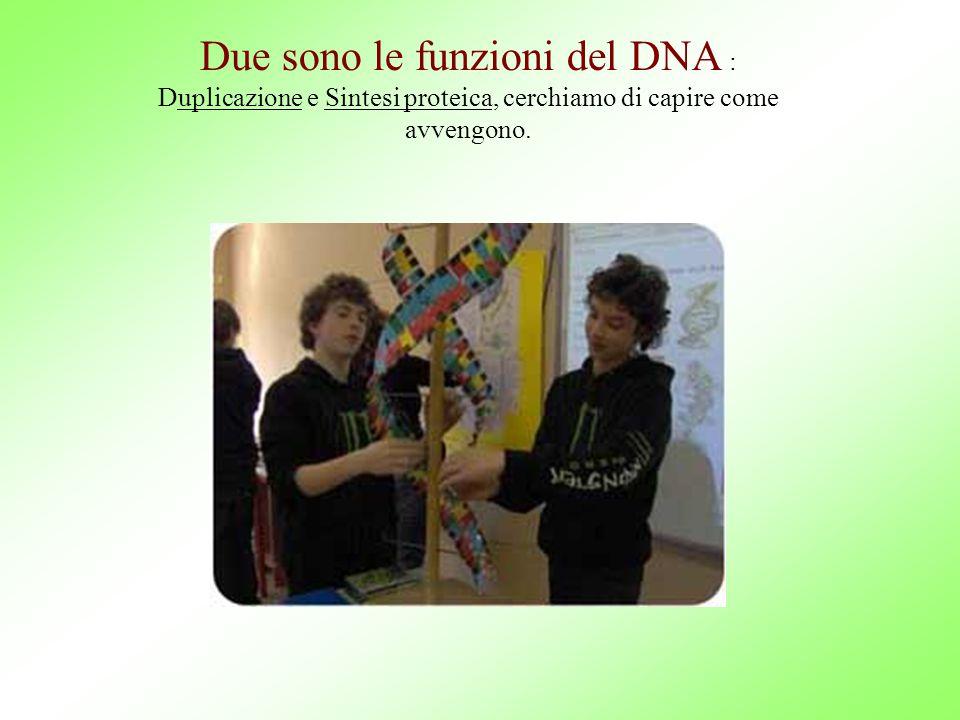 Due sono le funzioni del DNA : Duplicazione e Sintesi proteica, cerchiamo di capire come avvengono.