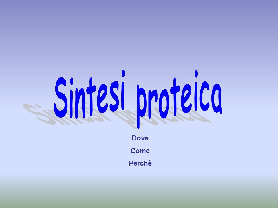 Cos'è la sintesi proteica La sintesi proteica è il processo che porta alla formazione delle proteine, a partire dall'unione degli AA, utilizzando le informazioni contenute nel DNA.