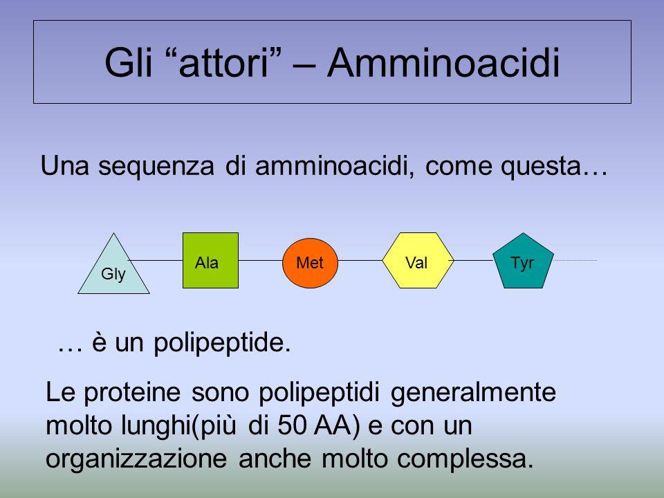 """Gli """"attori"""" – Amminoacidi Una sequenza di amminoacidi, come questa… Gly Ala Met ValTyr … è un polipeptide. Le proteine sono polipeptidi generalmente"""