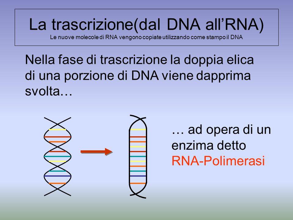La trascrizione(dal DNA all'RNA) Le nuove molecole di RNA vengono copiate utilizzando come stampo il DNA Nella fase di trascrizione la doppia elica di una porzione di DNA viene dapprima svolta… … ad opera di un enzima detto RNA-Polimerasi