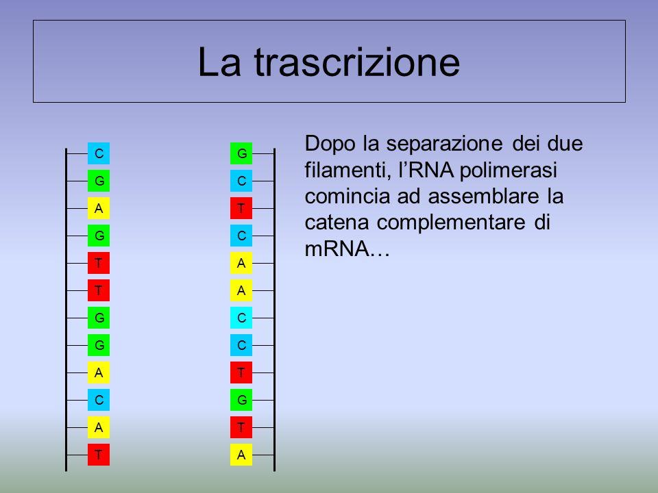 La trascrizione Dopo la separazione dei due filamenti, l'RNA polimerasi comincia ad assemblare la catena complementare di mRNA… A A A C G T T C C T G C A G T T G G A C T A C G