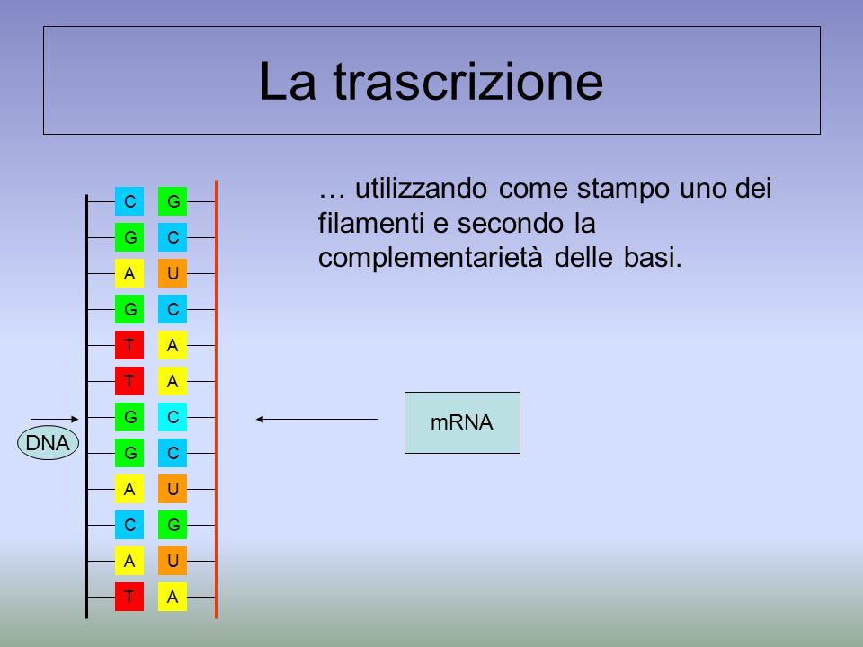 La trascrizione … utilizzando come stampo uno dei filamenti e secondo la complementarietà delle basi. GCUCAACCUGUA A G T T G G A C T A C G mRNA DNA
