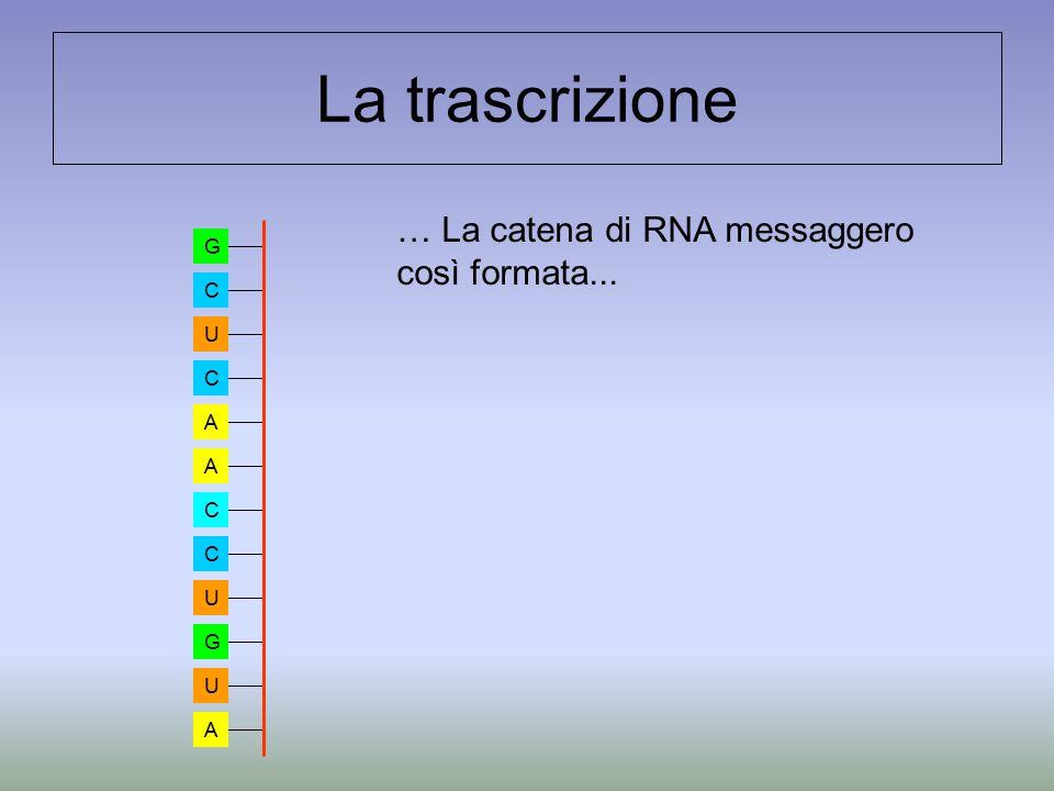 La trascrizione … La catena di RNA messaggero così formata... G C U C A A C C U G U A