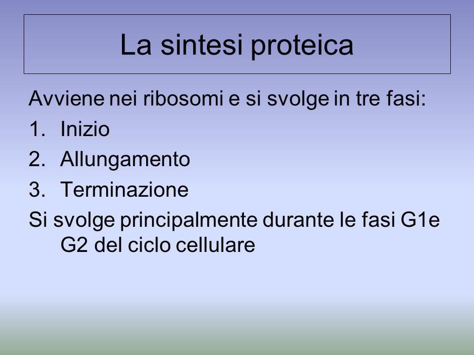 La sintesi proteica Avviene nei ribosomi e si svolge in tre fasi: 1.Inizio 2.Allungamento 3.Terminazione Si svolge principalmente durante le fasi G1e G2 del ciclo cellulare