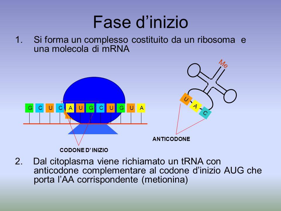 Fase d'inizio 1.Si forma un complesso costituito da un ribosoma e una molecola di mRNA 2. Dal citoplasma viene richiamato un tRNA con anticodone compl