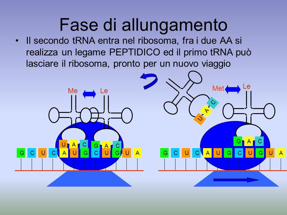 Fase di allungamento Il secondo tRNA entra nel ribosoma, fra i due AA si realizza un legame PEPTIDICO ed il primo tRNA può lasciare il ribosoma, pronto per un nuovo viaggio AU C Me AG C Le GCUCAUGCUGUAGCUCAUGCUGUA AU C AG C Met