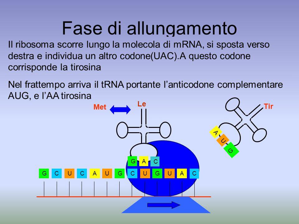 Fase di allungamento Il ribosoma scorre lungo la molecola di mRNA, si sposta verso destra e individua un altro codone(UAC).A questo codone corrisponde la tirosina Nel frattempo arriva il tRNA portante l'anticodone complementare AUG, e l'AA tirosina GCUCAUGCUGUA C AG C Le Met U A G Tir