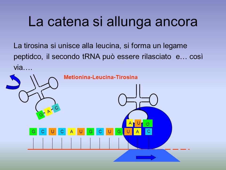 La catena si allunga ancora La tirosina si unisce alla leucina, si forma un legame peptidco, il secondo tRNA può essere rilasciato e… così via….