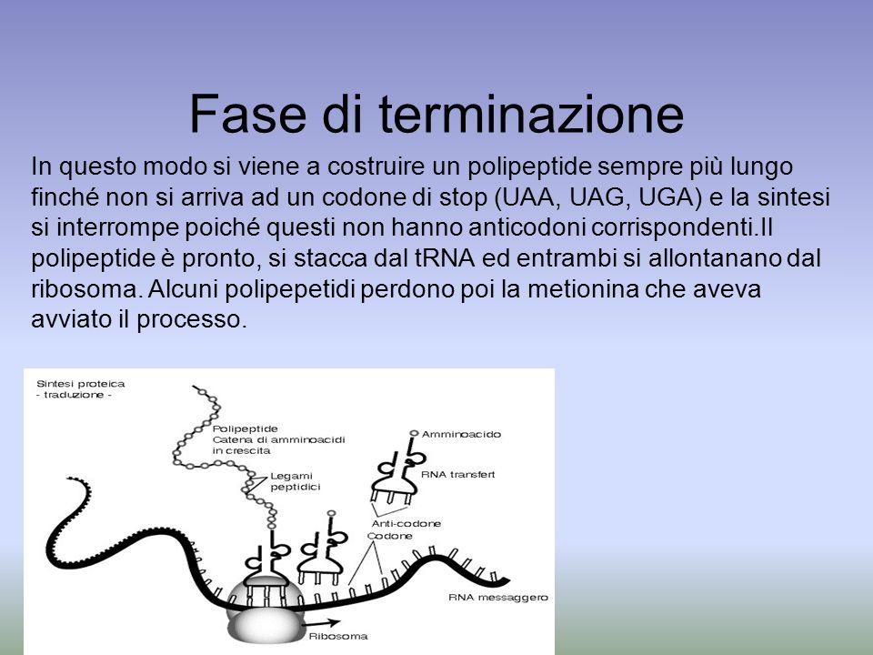 Fase di terminazione In questo modo si viene a costruire un polipeptide sempre più lungo finché non si arriva ad un codone di stop (UAA, UAG, UGA) e l