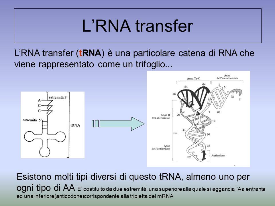 L'RNA transfer L'RNA transfer (tRNA) è una particolare catena di RNA che viene rappresentato come un trifoglio...