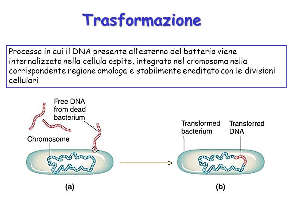 Processo in cui il DNA presente all'esterno del batterio viene internalizzato nella cellula ospite, integrato nel cromosoma nella corrispondente regio