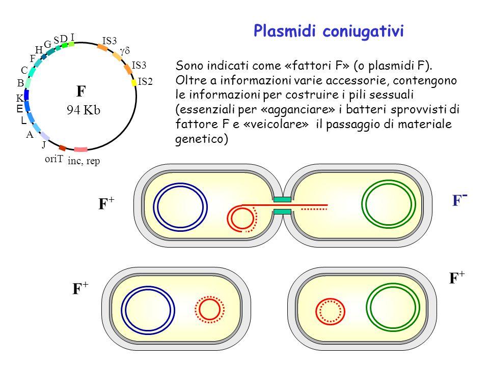 Plasmidi coniugativi IS3  IS3 IS2 inc, rep oriT A L E B C F H G S D I F J K 94 Kb F+F+ F-F- Sono indicati come «fattori F» (o plasmidi F). Oltre a i