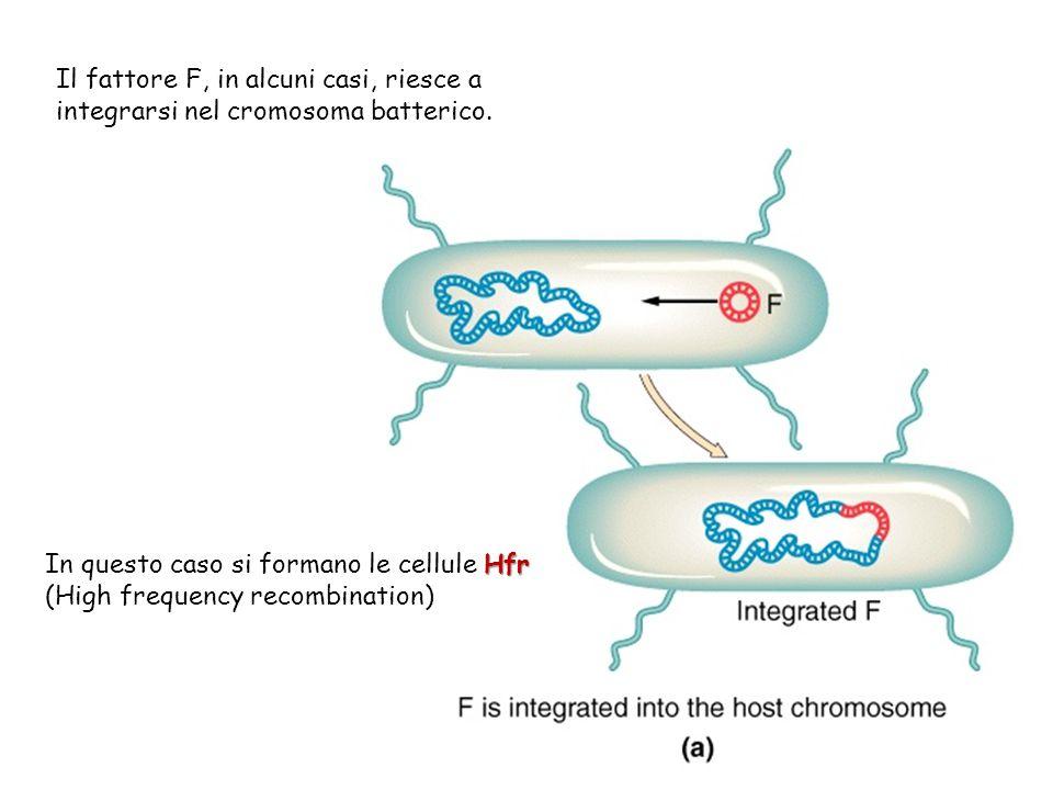 Il fattore F, in alcuni casi, riesce a integrarsi nel cromosoma batterico. Hfr In questo caso si formano le cellule Hfr (High frequency recombination)