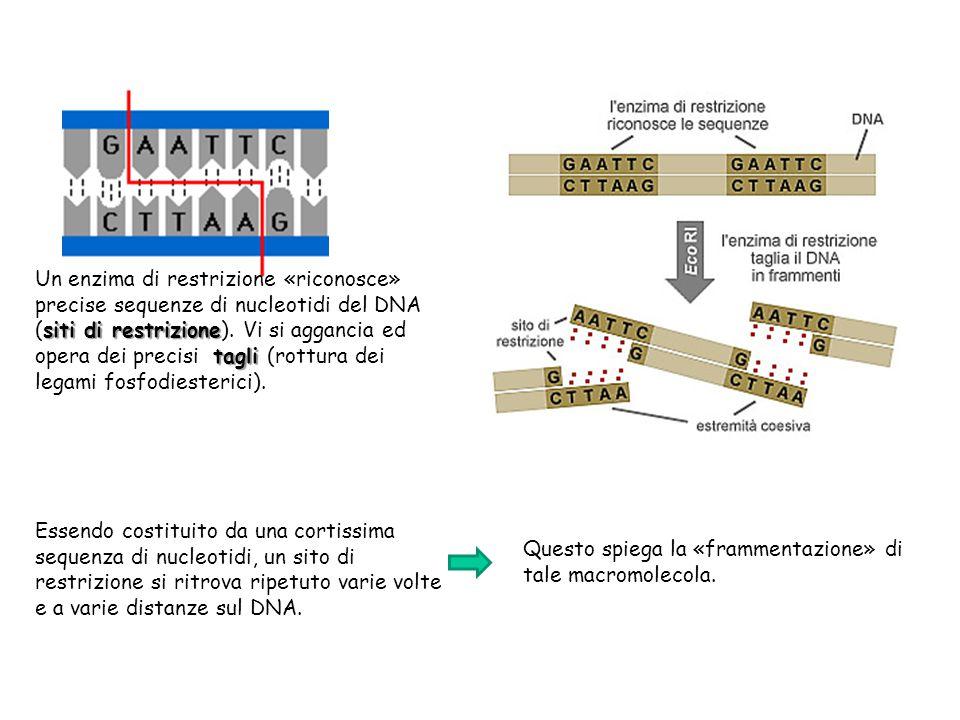 siti di restrizione tagli Un enzima di restrizione «riconosce» precise sequenze di nucleotidi del DNA (siti di restrizione). Vi si aggancia ed opera d