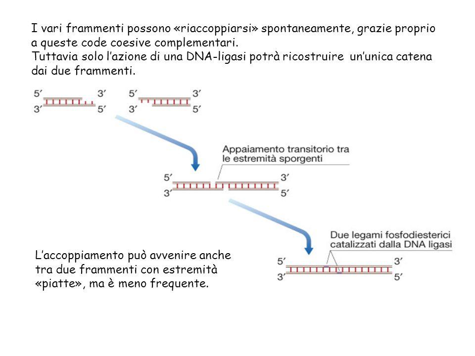 I vari frammenti possono «riaccoppiarsi» spontaneamente, grazie proprio a queste code coesive complementari. Tuttavia solo l'azione di una DNA-ligasi