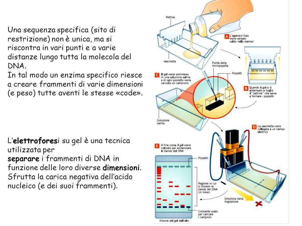 elettrofores L'elettroforesi su gel è una tecnica utilizzata per separare i frammenti di DNA in funzione delle loro diverse dimensioni. Sfrutta la car