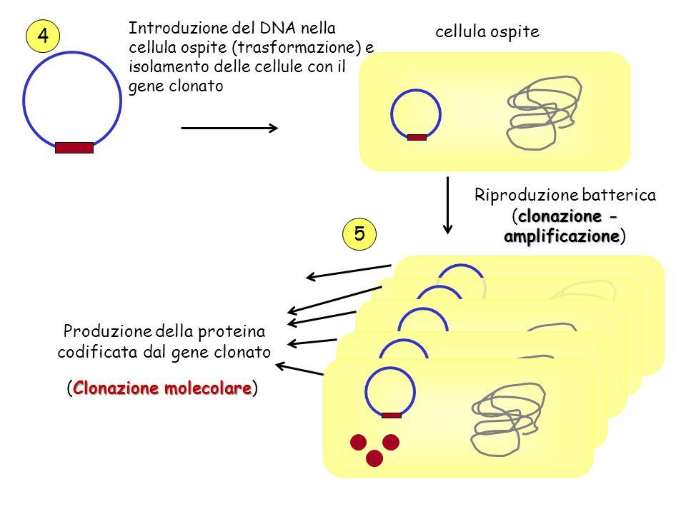 Introduzione del DNA nella cellula ospite (trasformazione) e isolamento delle cellule con il gene clonato cellula ospite clonazione - amplificazione R